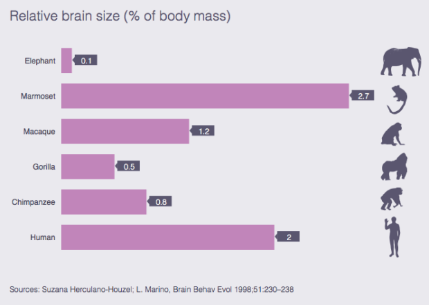 Human brain size compared to animals'